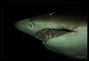 Shark by SmartyPhoto