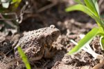 Mr. Toad by PhotoAlley