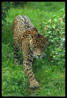 Jaguar by lomoboy