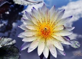 Waterlily by qui3ton3