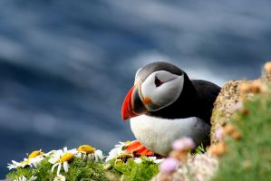 Life of a Puffin by Villimey