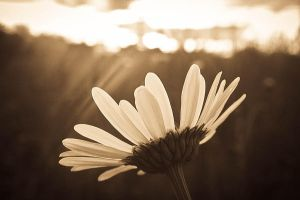 Lonely Daisy by black-sway