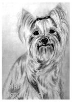 The Yorkshire Terrier by jolabrodnica