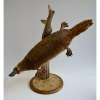 Mounted Platypus by Museumwinkel