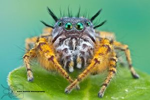 Jumping Spider - Phidippus mystaceus by ColinHuttonPhoto