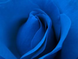blue rose by atomicsharkdesign