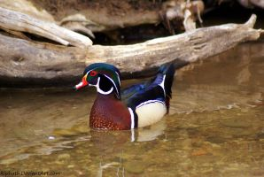 Wood Duck by Riphath