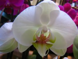 Big White Orchid by AngelTimi88