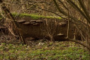 Tree trunk with bracket fungi by steppelandstock