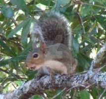 Squirrel #3.1 by Wileybill
