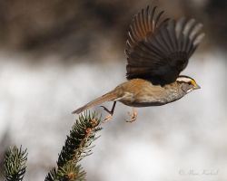 Fly Away Sparrow by AlinaKurbiel