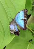 Common Morpho Butterfly by TheSleepyRabbit