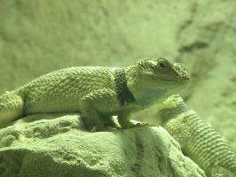 Desert Spiny Lizards by AGirlWithDreams96