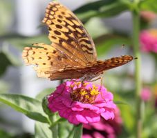 Great Spangled Fritillary 09 by Thy-Darkest-Hour
