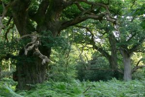 UK - Savernake Oak 01 by Ludo38