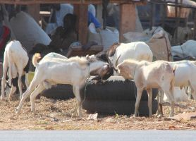 Fighting goats in Gambia by slingeraar
