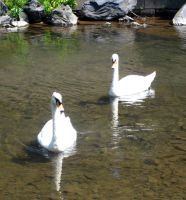 Swans 4 by Holly6669666