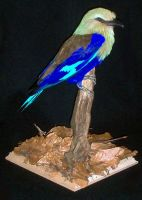 Taxidermy - BlueBellied Roller by Illahie