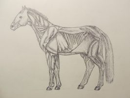 Horse Muscle Anatomy by Streamwhisker