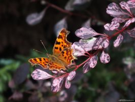 Comma... by AlfiBOh