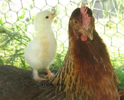 Hen With Chick by DebbieHeal