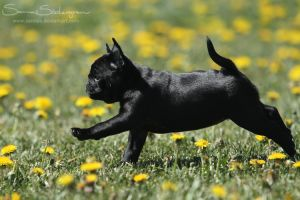 Black shadow puppy stretch by SaNNaS