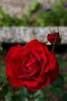 Rose by perost