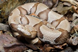 Agkistrodon c. contortrix by michael-ray