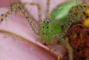 Green lynx spider in macro by fictionaldreamer