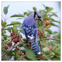 Common Blue Jay (USA) by Merhlin