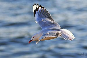 Seagull in flight by AliBahulimud