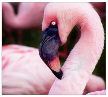 Flamingo by LHS-Laurence