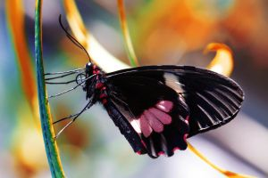 Swallowtail by Kendra-Paige