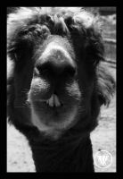 What about Alpacas... by WolverineAC