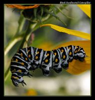 Black Swallowtail Cater - 07 by boron