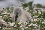 Amongst the daisies II by MustangPhoto