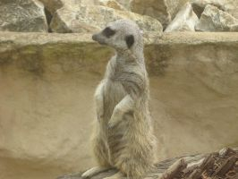 Meerkat Sentry by canadiankazz