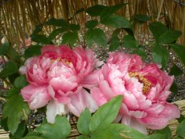 Paeonia suffruticosa 8 by freyiathelove