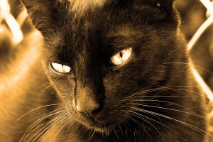 Black Cat 2341173 by StockProject1