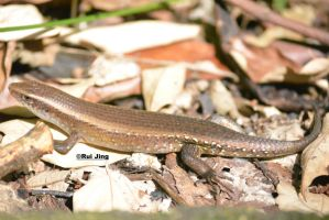 Common Sun Skink by GreenNexus51