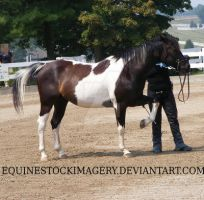 Paint Horse 11 by EquineStockImagery