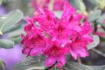 Rhododendron by TimeElf