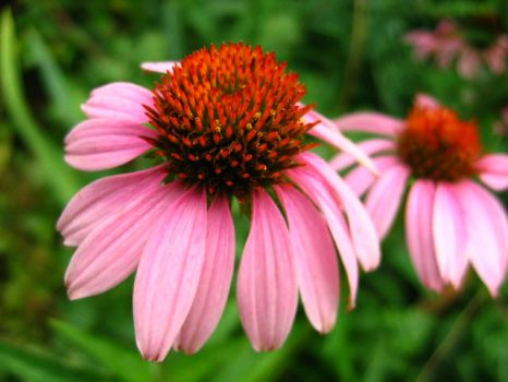 Colors of a Pairie Coneflower by abstractionx