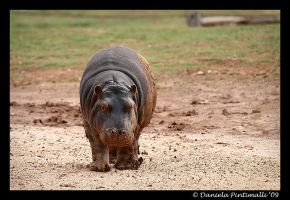Dirty Baby Hippo by TVD-Photography