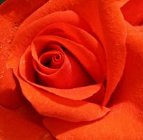 Closeup of red rose by a6-k