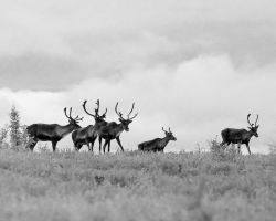 Caribou on the Dempster by mercorex