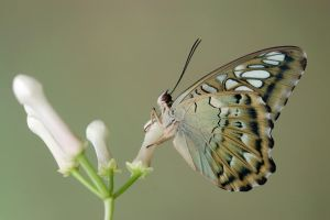 Parthenos sylvia 020909 by inckurei
