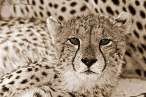 Cheetah on Cheetah by MorkelErasmus