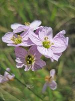 Cuckoo Flower by iriscup