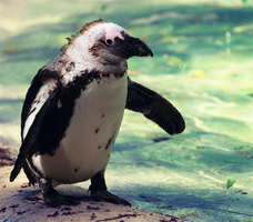 Penguin by FSGPhotography